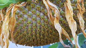 Helianthus - The disk of a sunflower is made up of many little flowers. The ray flowers here are dried up.
