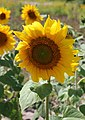 Sunflower head 2015 G4.jpg