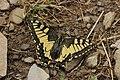 Swallowtail - Papilio machaon (42551229750).jpg