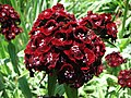 Sweet William Dianthus barbatus 'Heart Attack' Closeup 2816px.jpg