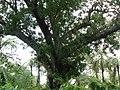 Swietenia mahagoni (1126845222).jpg
