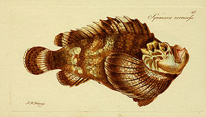 Synanceia - Type species Synanceia verrucosa, 1801 illustration