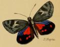 Synemon nupta Westwood 1877.png
