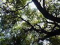 Table Rock Madrone Crown.JPG