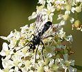 Tachinidae. Lophosia fasciata - Flickr - gailhampshire (1).jpg