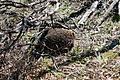 Tachyglossus aculeatus (Short-beaked Echidna), Moora Track, Grampians National Park, Victoria Australia (5044243554).jpg