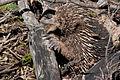 Tachyglossus aculeatus (Short-beaked Echidna), Moora Track, Grampians National Park, Victoria Australia (5044247600).jpg