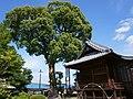 Takagi Hanchiman-gu main hall and camphor tree.jpg