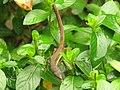 Takydromus sexlineatus (43793304145).jpg