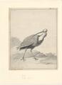 Tantalus calvus - 1710-1792 - Print - Iconographia Zoologica - Special Collections University of Amsterdam - UBA01 IZA1000728.tif