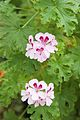 Tatton Park 2015 29 - Geranium.jpg