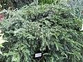 Taxus baccata - Gardenology.org-IMG 0661 bbg09.jpg
