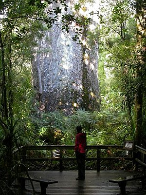 Waipoua Forest - Girth of Te Matua Ngahere compared with a person for scale