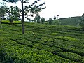 Tea farming.jpg