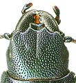 Temnochila caerulea head.jpg