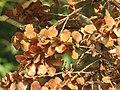Terminalia paniculata fruits at Kottiyoor Wildlife Sanctuary (4).jpg