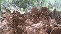 TermiteMOUNDtop-Tamilnadu17.5.JPG