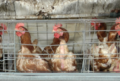 Tesco-brand eggs investigation, 2019 - hens with damaged bodies in feces-coated cages.png