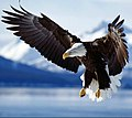 The Bald Eagle - Spreading the Wings.jpg