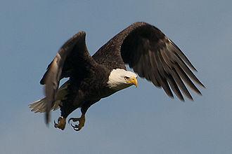 St. Vincent National Wildlife Refuge - Image: The Bald Eagle By Carole Robertson