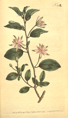The Botanical Magazine, Plate 422 (Volume 12, 1798).png
