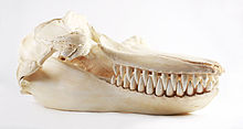 The Childrens Museum of Indianapolis - Killer whale skull cast.jpg