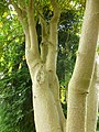 The Polished Bark of the Laburnum (9146990516).jpg