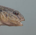 The head of round goby is impressive.jpg