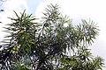 Thevetia peruviana 15zz.jpg