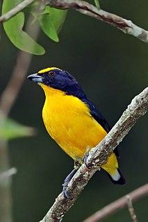 Thick-billed euphonia species of bird