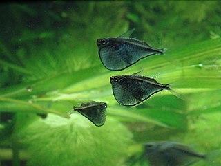 <i>Thoracocharax</i> genus of fishes