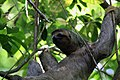 Three toed sloth female.JPG