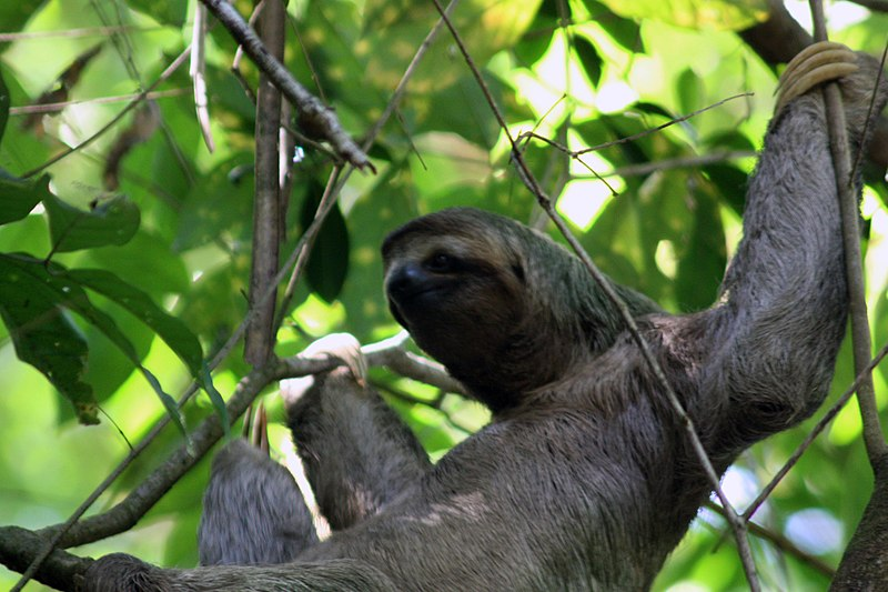 File:Three toed sloth female.JPG