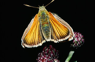 Small skipper Species of butterfly