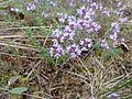 Thymus vulgaris 01.JPG