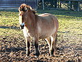 Tierpark Sababurg Przewalskipferd.jpg