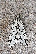 Tiger moth (Eucereon pica tigrata).jpg