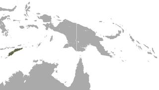 Timor shrew species of mammal