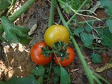 Tomato plant 1.jpg