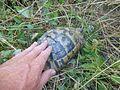 Tortoises in Krushevska Reka valley - P1100140.JPG