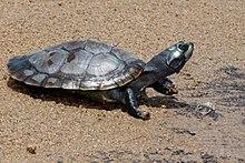Foto einer Arrau-Schildkröte