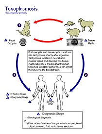 Toxoplasmosis - Wikipedia, the free encyclopedia