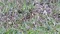 Tree Pipit (Anthus trivialis) (46524665052).jpg