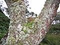 Tree with lichen - geograph.org.uk - 102701.jpg