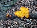Tremella mesenterica gljiva.jpg