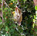 Treron calvus glaucus, in vyeboom, p, Pretoria.jpg