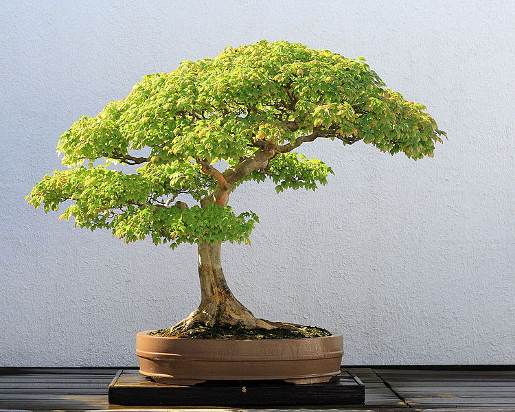 Vrcholom pestovateľskej zručnosti je pestovanie bonsajov