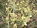 Trifolium (Chronosemium) campestre 01.JPG