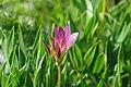 Trifolium Alpinum - Alpine Flora.jpg