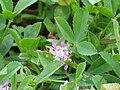 Trifolium fragiferum InflorescenceCloseup 2010 5 09 DehesaBoyaldePuertollano.jpg